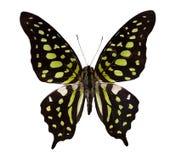 热带黑色蝴蝶的绿色 库存照片
