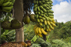 热带水果椰子黄色香蕉红色香蕉 免版税库存照片