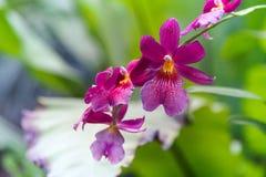 热带紫色兰花花 库存图片
