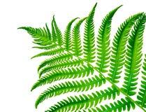热带绿色蕨叶状体 免版税库存照片