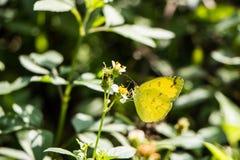 热带黄色蝴蝶 免版税图库摄影