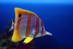 热带蝴蝶鱼的sixspine 免版税库存照片