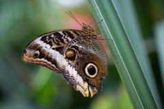 热带蝴蝶,猫头鹰蝴蝶 免版税库存图片