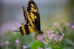 热带蝴蝶, Malachit 免版税库存图片