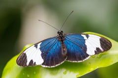 热带蝴蝶, passionfalter, cydno 图库摄影