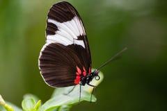 热带蝴蝶, passionfalter, sapho 免版税库存照片