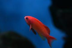 热带3条的鱼 免版税图库摄影
