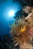 热带anemonefish珊瑚红色礁石的海运 库存照片