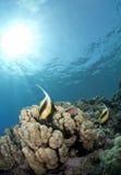 热带bannerfish珊瑚红色礁石的海运 免版税库存照片