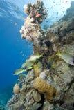 热带blackspotted珊瑚礁的sweetlips 库存图片