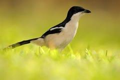 热带Boubou或响铃伯劳, Laniarius aethiopicus,在绿草 从非洲的黑白鸟 与太阳的夏日我 免版税库存照片