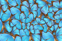 热带butterflys Morpho menelaus 免版税库存照片
