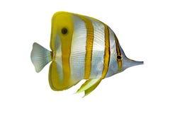 热带chelmon的鱼 库存图片