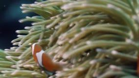 热带clownfish的鱼 股票视频