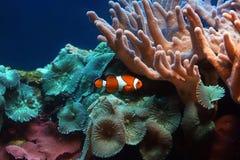热带clownfish的鱼 库存图片