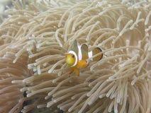 热带Clownfish (Anemonefish)和银莲花属 免版税库存图片