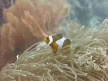 热带Clownfish (Anemonefish)和银莲花属 免版税图库摄影