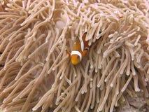 热带Clownfish (Anemonefish)和银莲花属 库存图片