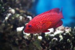 热带fishcephalopholis的miniata 免版税库存照片
