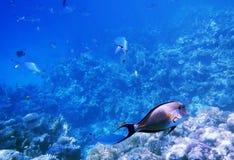 热带Sohal矛状棘鱼在红海,埃及 免版税库存照片