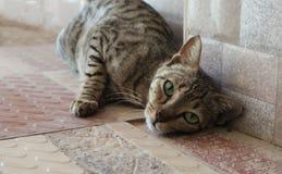 热情地摆在为照相机的大胆的猫 免版税库存照片