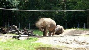 从热抢救的大象 库存照片