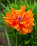 热橙色东方罂粟 库存图片