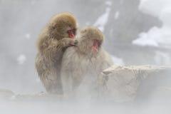 热猴子雪春天 库存图片
