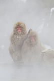 热猴子雪春天 免版税库存图片