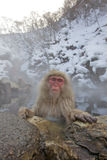 热猴子雪春天 免版税图库摄影