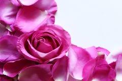 热瓣粉红色 免版税库存照片