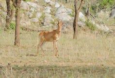 焦炭` s Hartebeest和非洲羚羊 免版税库存图片