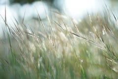 焦点和bokeh在白色绿草在冬天季节hol中开花 库存照片