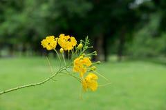 焦点黄色花在庭院里 免版税库存照片