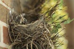 然后有在巢的一只小的小知更鸟 图库摄影