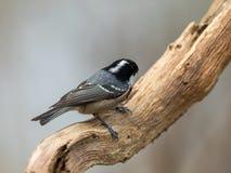 煤炭山雀在一个弯曲的分支栖息,显示白色斑点在它的黑头背面 图库摄影