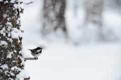 煤炭山雀在冬天,当下雪时 免版税库存照片