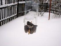 煤炭山雀在冬天, 免版税库存图片