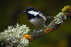 煤炭山雀,歌手坐美好的地衣分支有清楚的黑暗的背景,动物在自然栖所,德国 库存图片