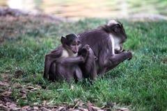 煤烟灰白眉猴 库存图片