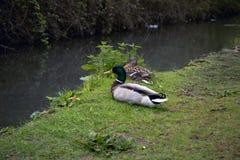 照片一只母布朗鸭子和公绿色鸭子在河岸在阿伦德尔,英国国家边在西萨塞克斯郡 免版税库存照片