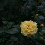 照片一黄色长篇在黑暗的叶子中上升了 免版税库存图片