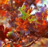 照片与橡子和多样化的叶子的橡木分支 免版税图库摄影