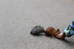 照片哺养的灰鼠在公园用人的手 免版税库存图片