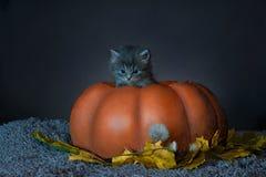 照片在万圣夜 两只灰色小猫在南瓜坐 库存图片