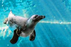 照片在水下的面孔企鹅 免版税库存图片