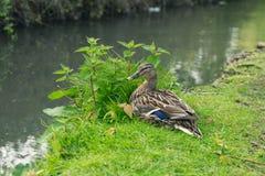 照片在河岸的一只母布朗鸭子在阿伦德尔,英国国家边在西萨塞克斯郡 免版税库存照片