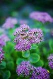照片在紫色的婚戒 免版税图库摄影