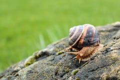 照片在gr描述与螺旋壳的一只狂放的大美丽的蜗牛 库存图片