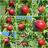 照片拼贴画:在树的油桃 免版税图库摄影